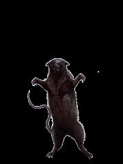 Giant Zombie Rat